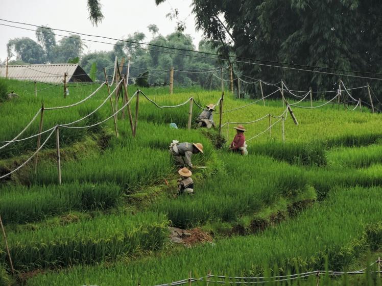 Black Hmong family harvesting rice-01