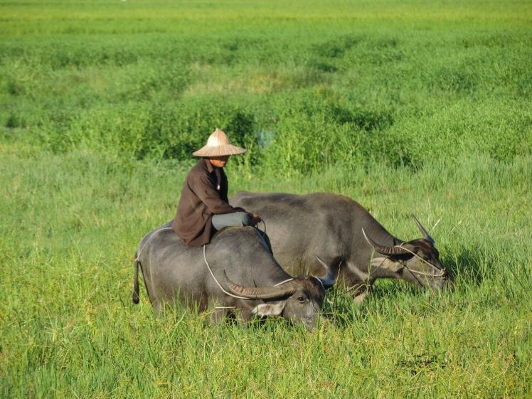Man on buffalo