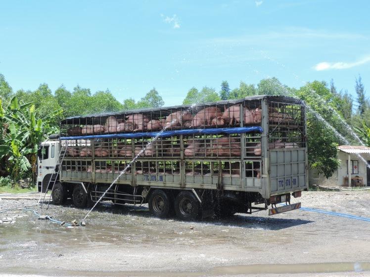 Pig van Hai Van Pass.jpg