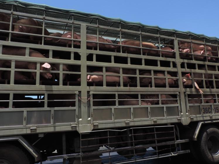 Pig van.jpg