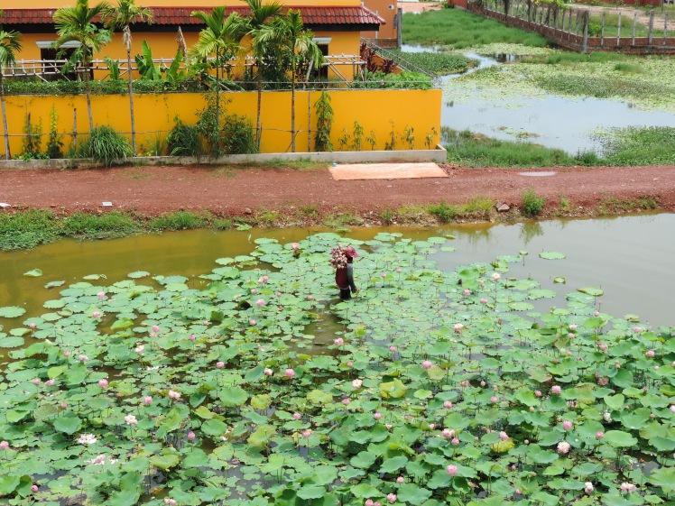 Lotus flower harvesting cambodia.jpg